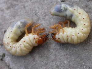 майский жук и личинки