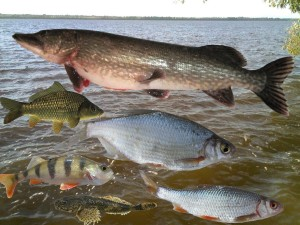 рыбы Беларуси
