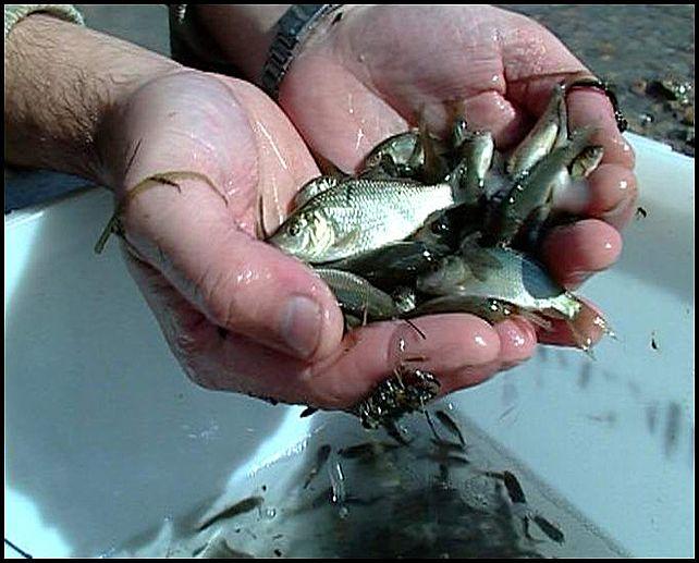 живец для рыбалки