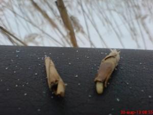 личинки в тростнике