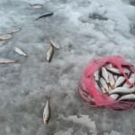 Клёв плотвы на оз.Лепельское 2015