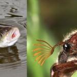 Ловля голавля на майского жука